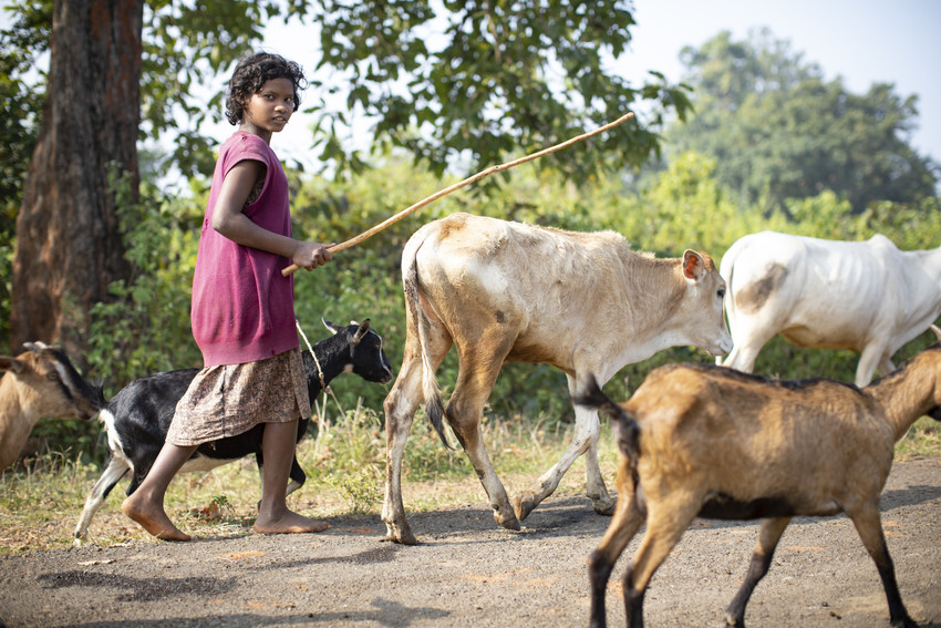 A teenage girl herds cattle in India while looking at camera.